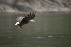 Eagle with Prey. Stock Photography