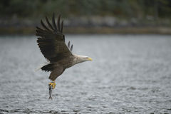 Eagle with Prey. Stock Images
