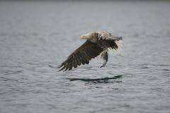 Eagle with Prey. Stock Photos