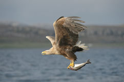 Eagle with Prey. A White tailed Eagle hunting off the Norwegian coast Royalty Free Stock Photos