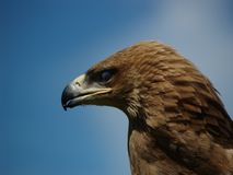 Eagle in profile. Eagle profile in the UK Royalty Free Stock Photos