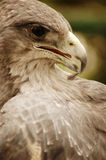 Eagle profile Stock Photo