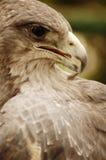 Eagle profile stock photo