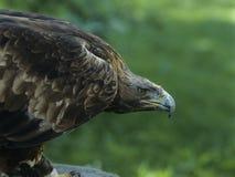 Eagle profile Stock Images