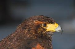 Eagle profile. A profile of an eagle Stock Photography