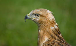 Eagle in profile. The photograph of an eagle (Aquila heliaca) taken in profile Stock Photos