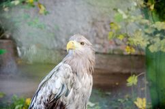 Eagle profile Royalty Free Stock Photos