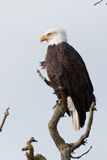 Eagle Profile Royalty Free Stock Photo