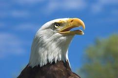 Eagle Profile chauve image libre de droits