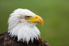 Eagle Profile. A high resolution image of a confident looking bald eagle with a green background Stock Image