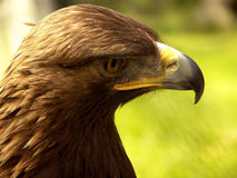 Eagle profile portrait. An outdoor profile portrait of an eagle Stock Photography