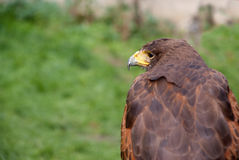 Eagle, profile view. Featuring the beak royalty free stock images