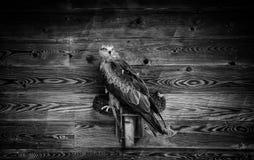 Eagle protegido fotos de archivo