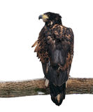 Eagle przy gałęziasty przyglądający z powrotem odosobnionym przy bielem Obraz Stock