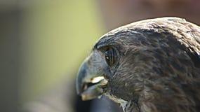 Eagle przy ptasim latania przedstawieniem Zdjęcia Royalty Free