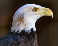Eagle przy uwagą Zdjęcie Stock