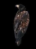 Eagle przyglądający z powrotem odosobniony przy czernią Zdjęcie Stock
