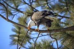 Eagle pulisce il suo becco Fotografia Stock