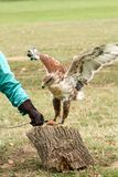 Eagle que bate sobre a carne colocada no coto fotografia de stock