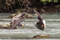 Eagle que luta no rio de Chilkoot perto de Haines fotografia de stock