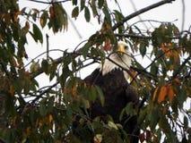 Eagle que oculta en actividad de observación del árbol abajo atento fotografía de archivo libre de regalías