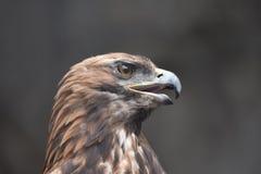 Eagle que procura a rapina foto de stock