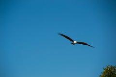 Eagle que vuela y que mira hacia fuera para la presa Fotografía de archivo libre de regalías