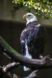 Eagle - rapace Fotografia Stock
