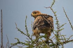 Eagle-Raubvogel auf Akazienbaum an Nationalpark Serengeti in Tansania, Afrika stockbilder