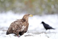Eagle and raven on snow Royalty Free Stock Image