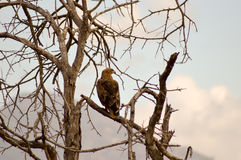 Eagle ravisher on a tree Stock Photos