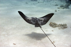 Free Eagle Ray Stock Images - 10296574