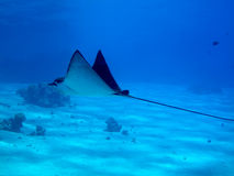 Eagle ray Stock Photo