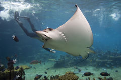 Eagle-ray. Spotted Eagle-ray (Aetobatus narinari) with Skindiver in background Stock Images