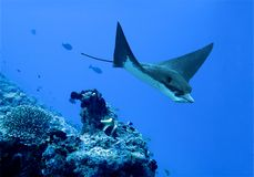 Eagle ray Stock Image