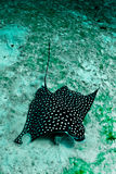 Eagle Ray Royalty Free Stock Photo