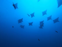 Eagle ray Stock Photos
