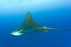 Eagle ray. On the blue background - egypt Stock Photography