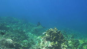 Eagle Ray on a coral reef stock video footage