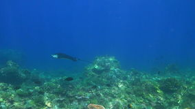 Eagle Ray on a coral reef stock footage