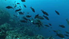 Eagle ray diving underwater video Galapagos islands Pacific Ocean stock video