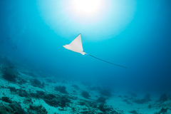 Eagle Ray e sprazzo di sole Fotografia Stock