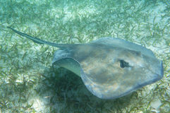 Eagle Ray en suelo marino Imagen de archivo libre de regalías