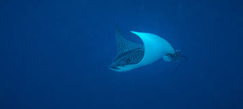 Eagle ray flying Stock Photo