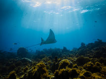 Free Eagle Ray Flys Across A Coral Reef Royalty Free Stock Photos - 24563498
