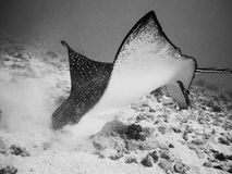 Eagle ray foraging Stock Images