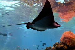 Eagle-ray Stock Photos