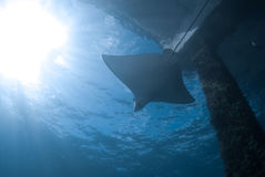 Eagle Ray II Stock Image