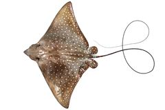 Eagle ray isolated Royalty Free Stock Photo