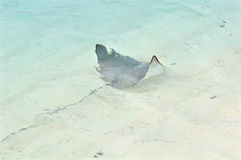 Eagle ray, Maldives Stock Photography